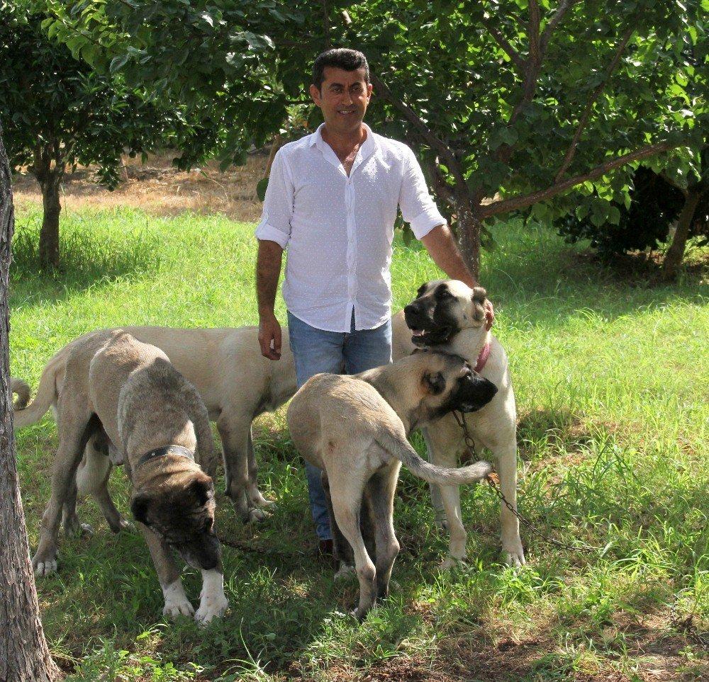 كلاب كانغال